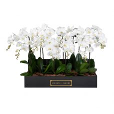 8 White Orchids in 90x30cm Black Rectangular Box