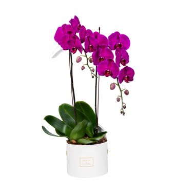 2 Purple Orchids in 20x15cm White Round Box