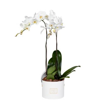 2 White Orchids in 20x15cm White Round Box