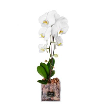 1 White Orchid in 15x15cm Clear Square Acrylic Box