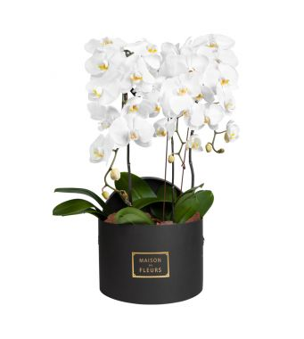 3 White Orchids in 30x20cm Black Round Box