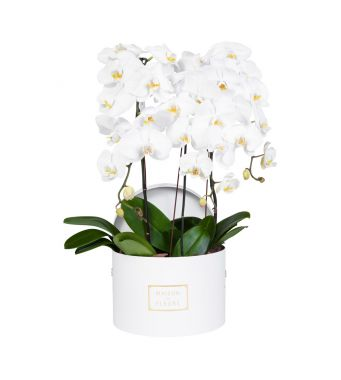 3 White Orchids in 30x20cm White Round Box