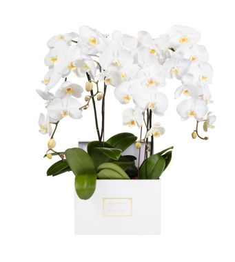 4 White Orchids in 30x30cm White Square Box