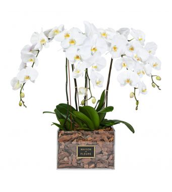 4 White Orchids in 30x30cm Clear Acrylic Square Box