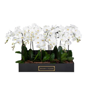 12 White Orchids in 90x30cm Black Rectangular Box