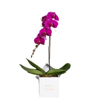 1 Purple Orchid in 15x15cm White Square Box
