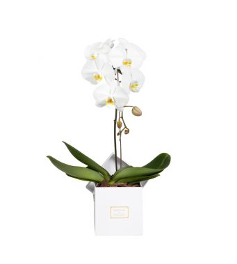 1 White Orchid in 15x15cm White Square Box