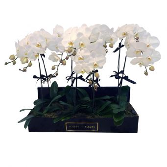8 Orchids in Big Rectangular Black Box
